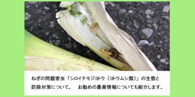 ねぎ シロイチモジヨトウ ヨトウムシ類の生態と防除対策 アイキャッチ