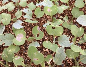 ミネクトデュオ粒剤の加害葉