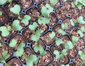 野菜苗の画像①