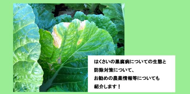 はくさい黒腐病 生態と防除対策 農薬情報 アイキャッチ