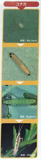 コナガの生態資料