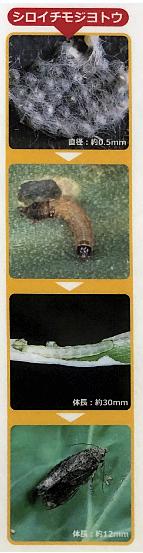 シロイチモジヨトウの生態資料