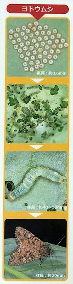 ヨトウムシ類の生態資料
