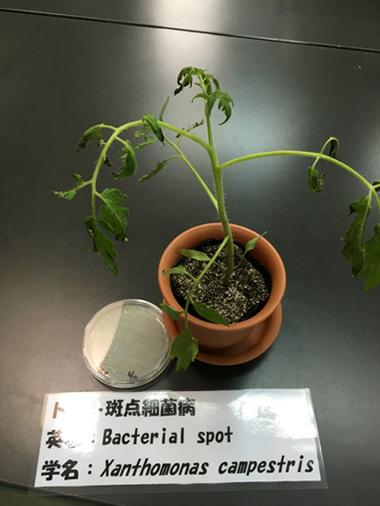トマト斑点細菌病①