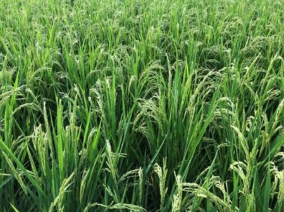 稲 斑点米圃場