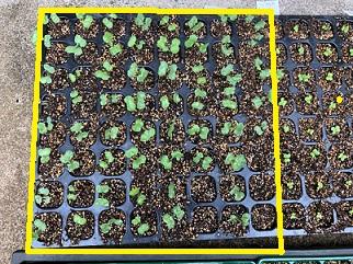 間引き苗の植え直し3