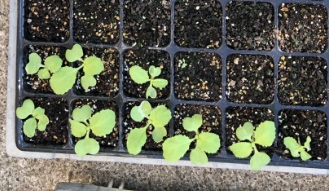 ダイソー種子 再移植