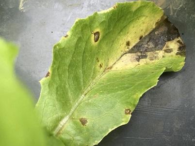 レタス斑点細菌病