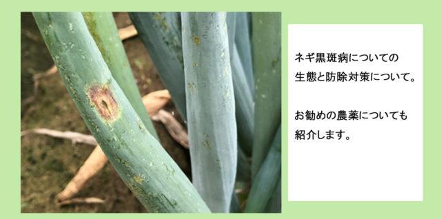ネギ黒斑病について 生態と防除対策 アイキャッチ