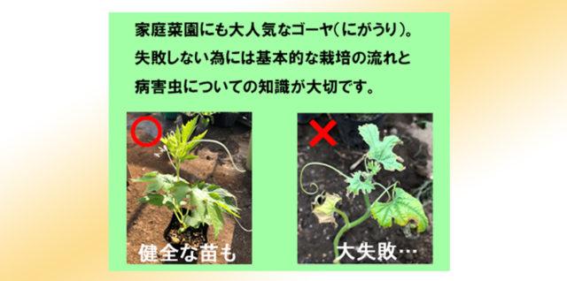ゴーヤ ニガウリ 栽培方法 防除対策 アイキャッチ